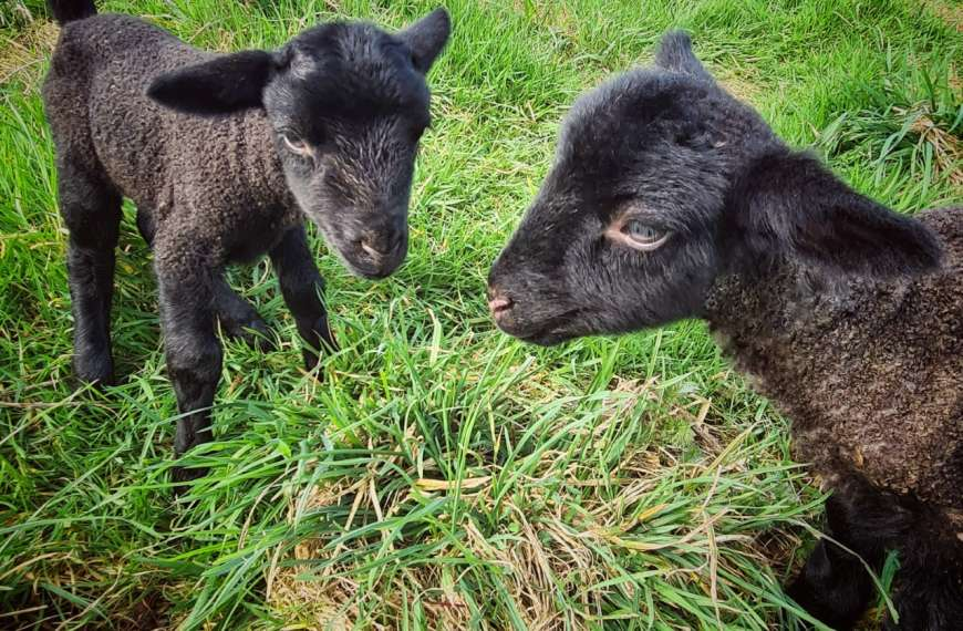 Spring lambs help to grow Bath City Farm's family of animals